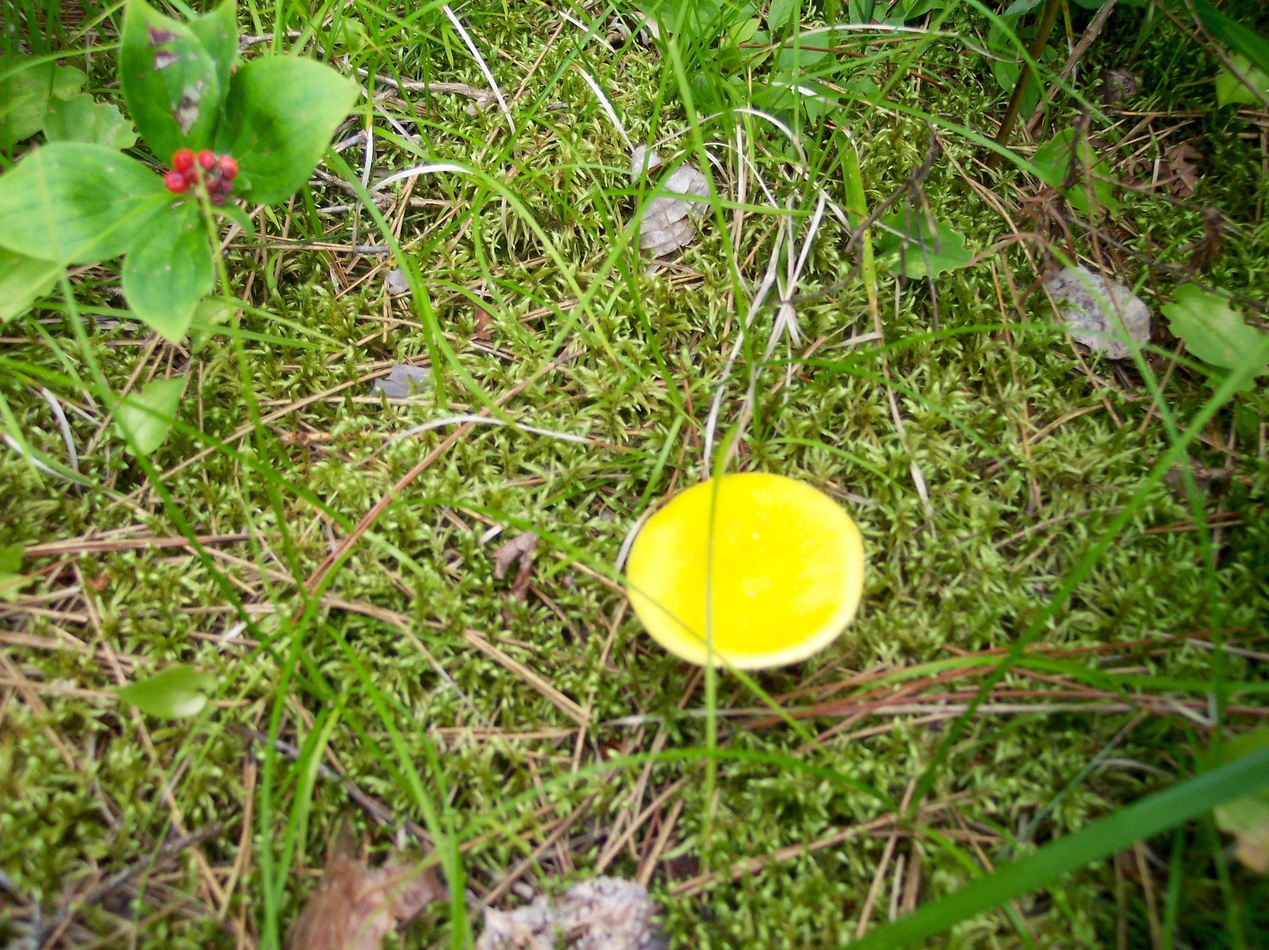 Yellow mushroom and red berries
