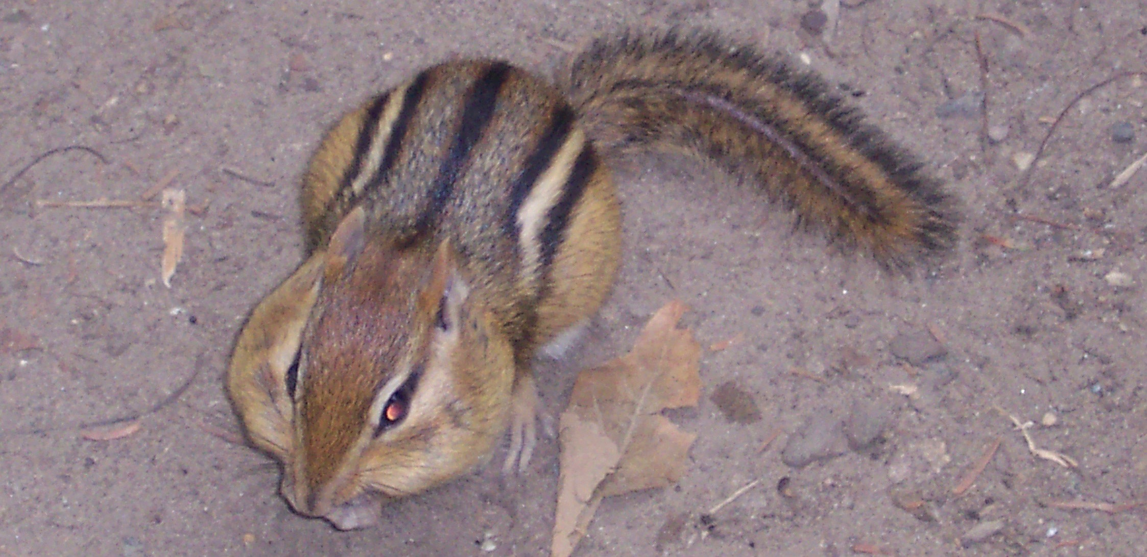 Chipmunk storing peanuts in cheeks
