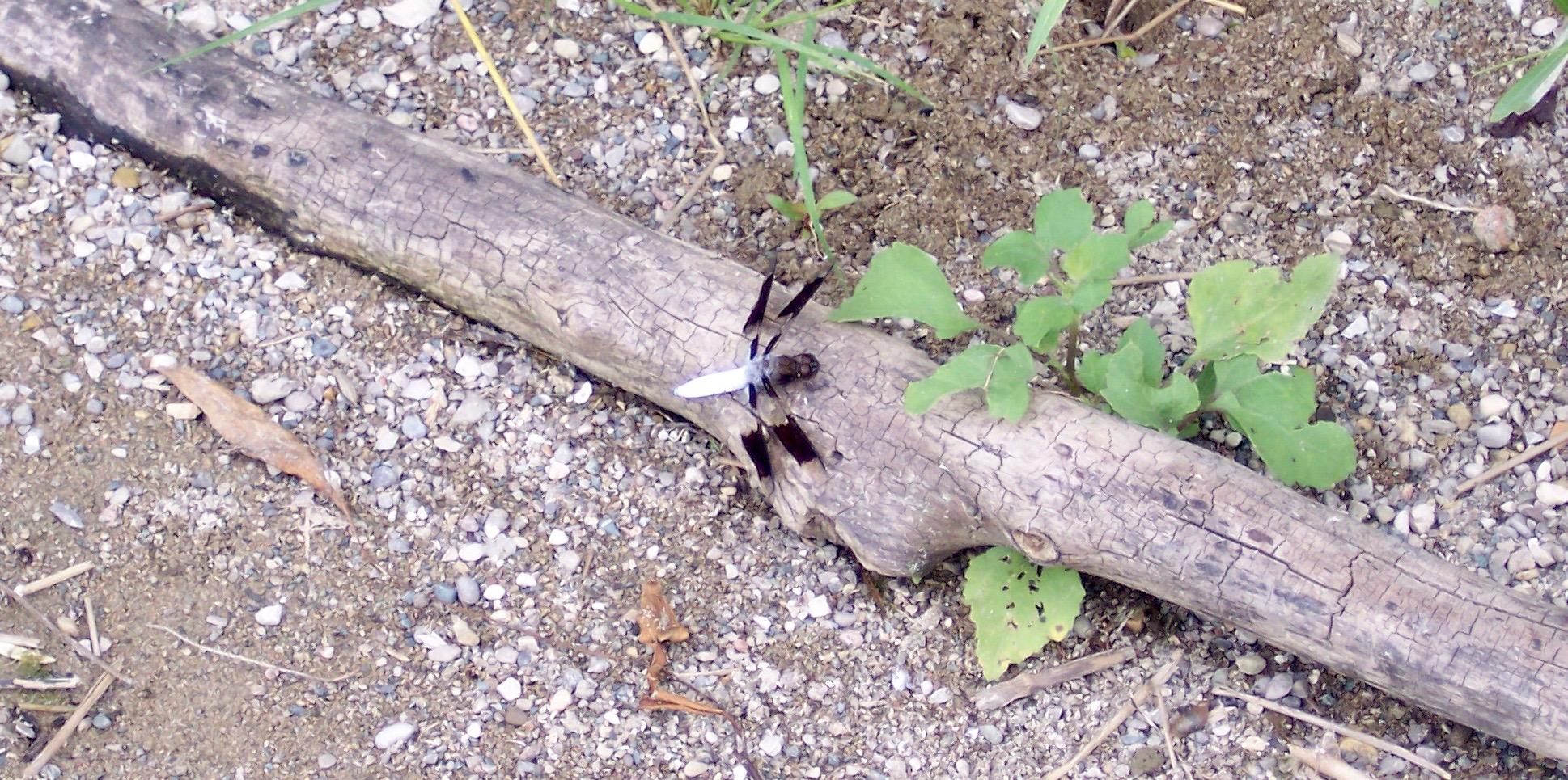 Ebony and ivory dragonfly