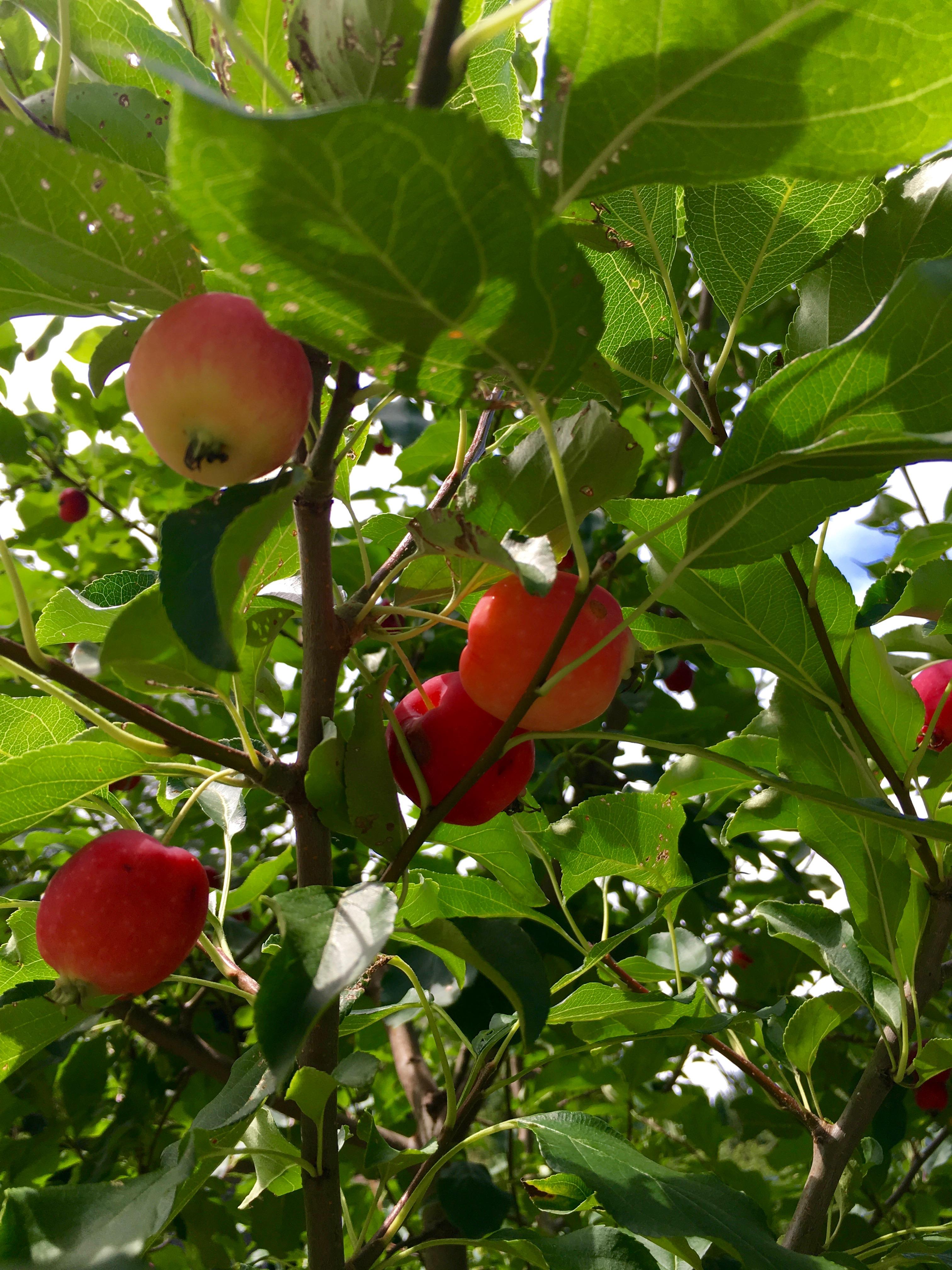 ripe crabapples