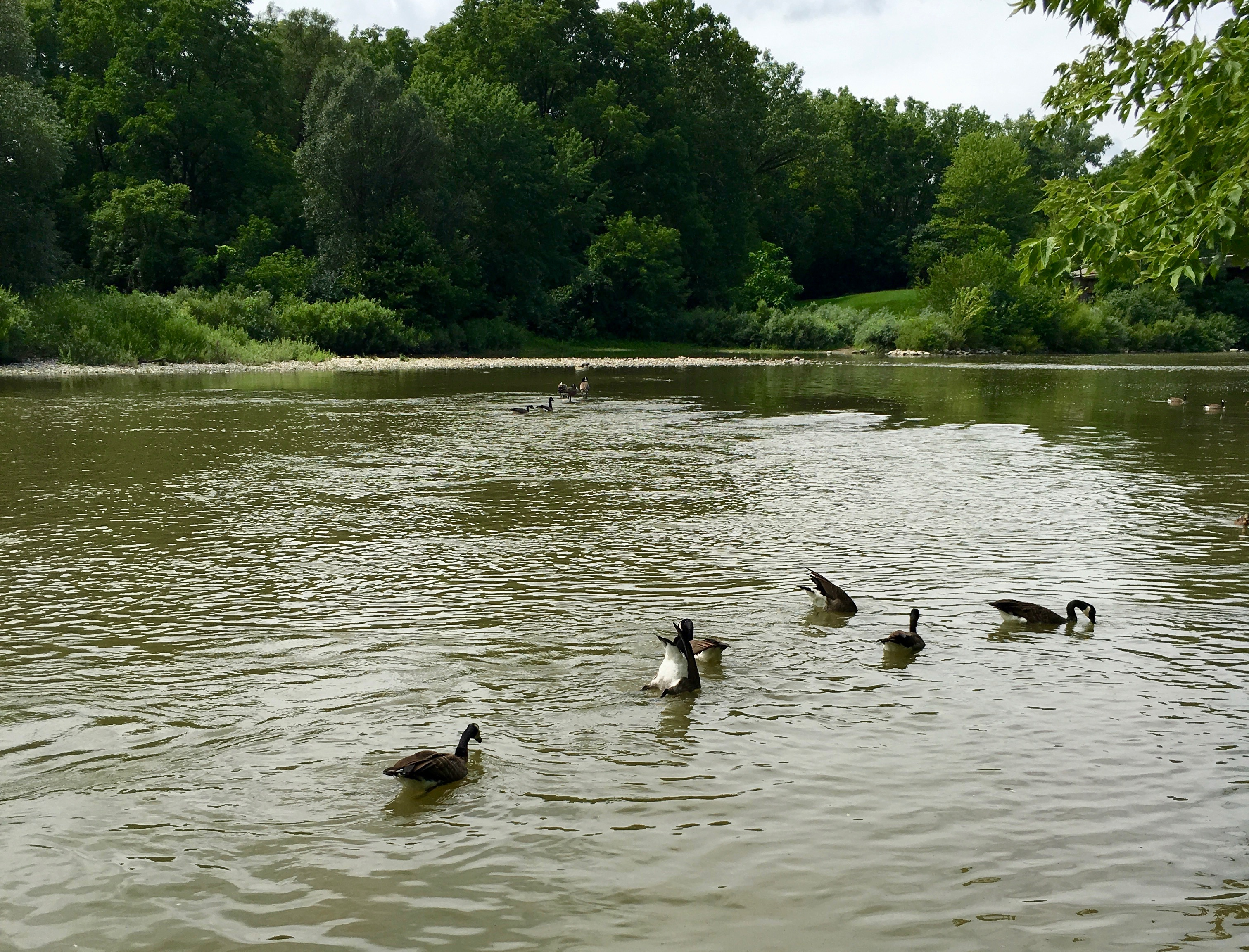 gaggle of geese in lake