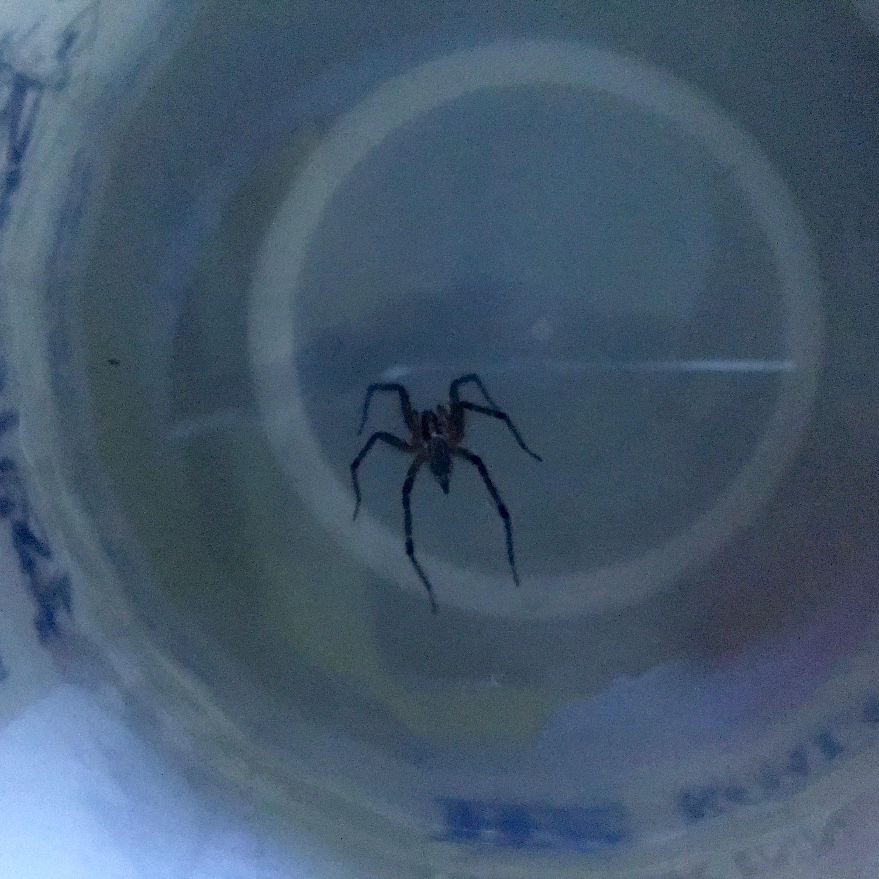 spider in jug